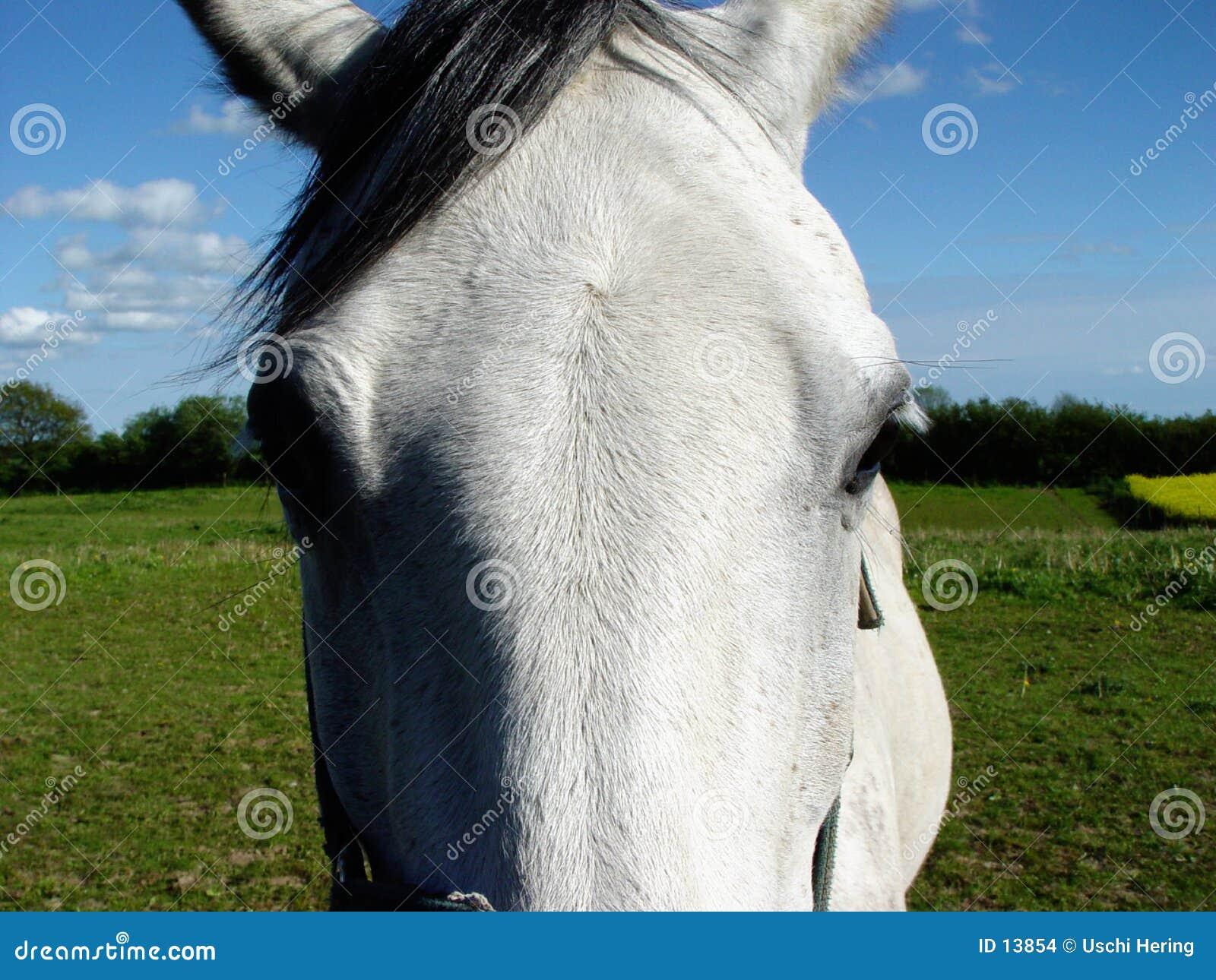 De ogen van het witte paard