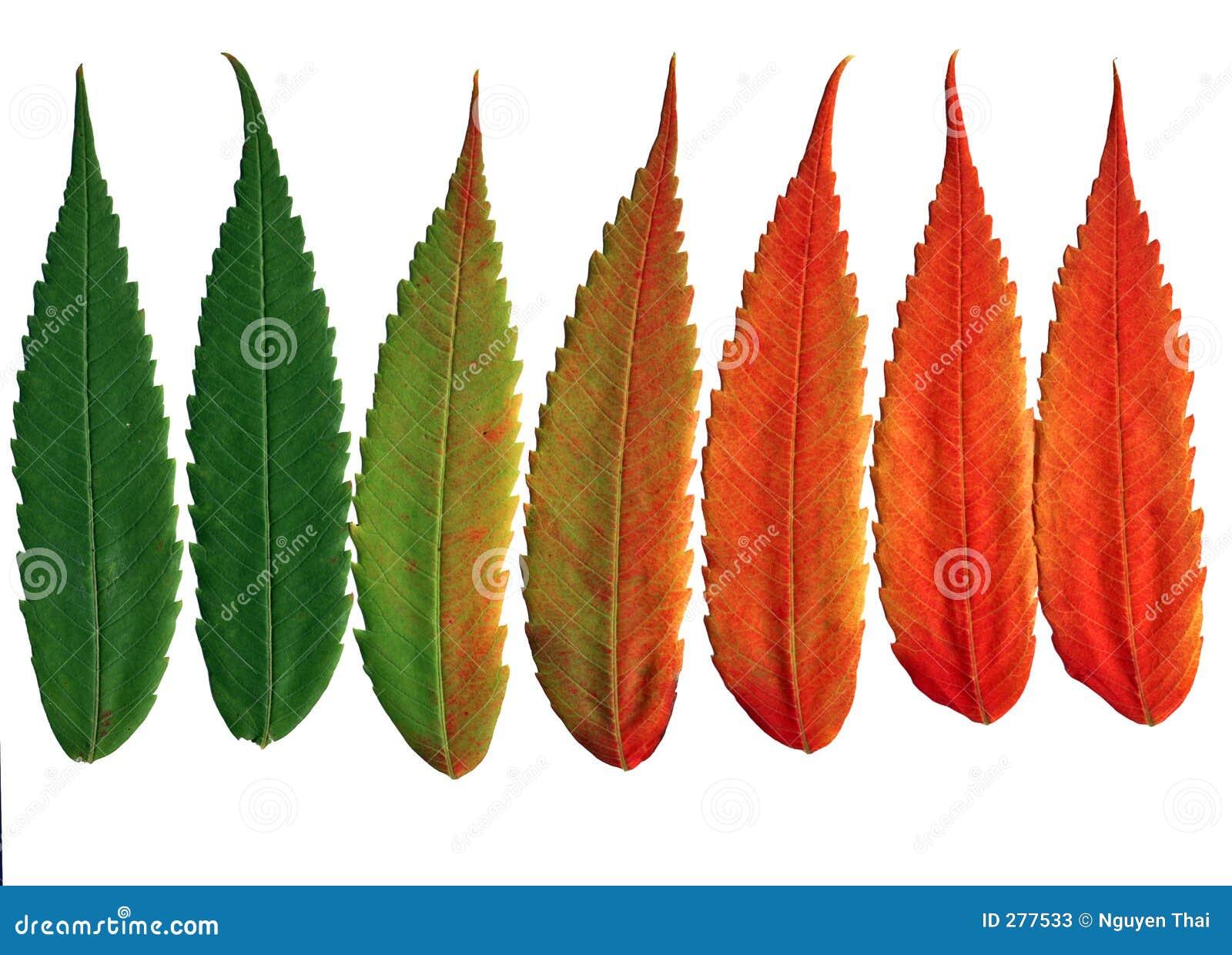 De okkernoot verlaat veranderende kleuren