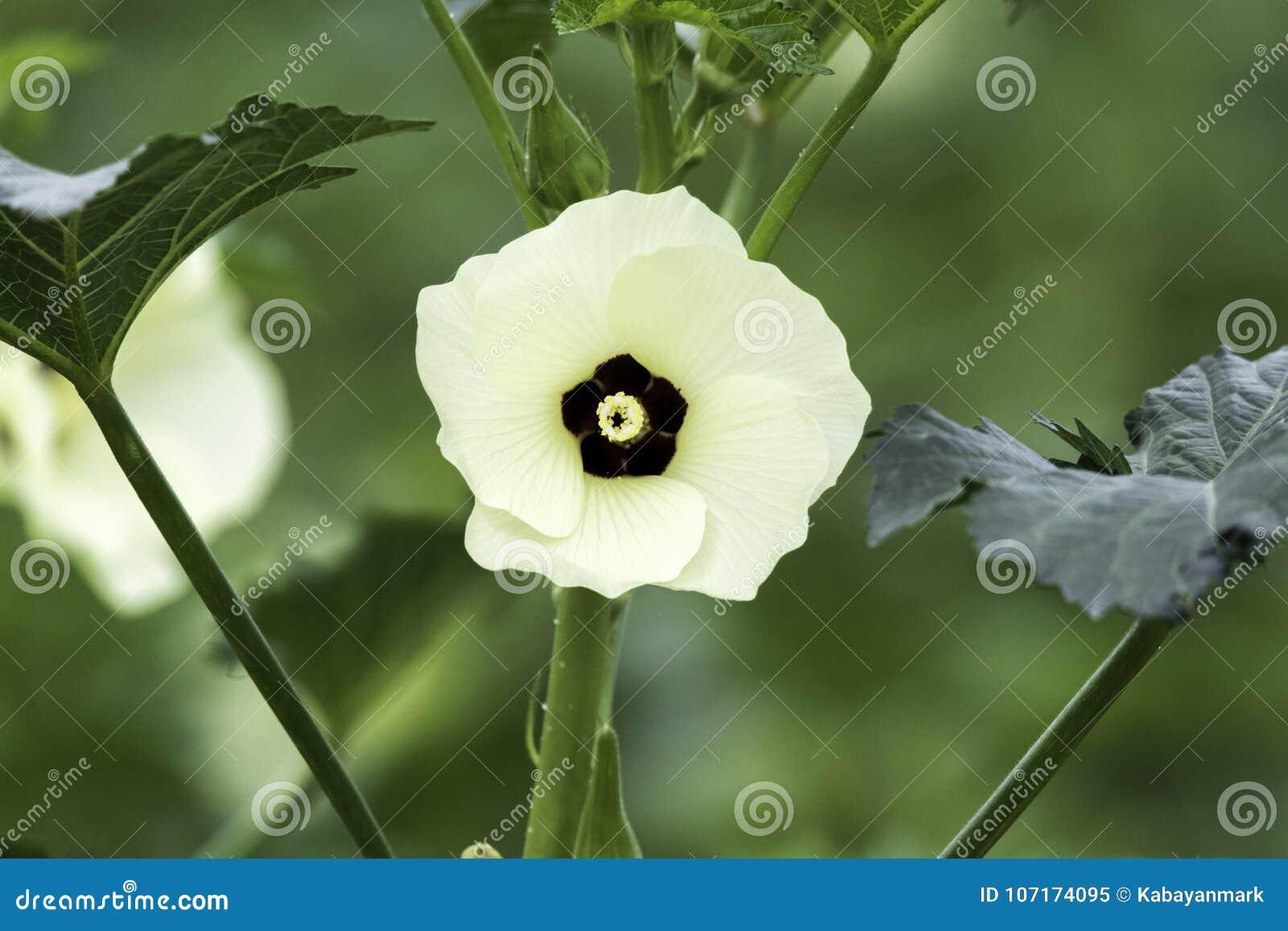De okrabloem, dag, op installatie met weinig bladeren wordt geïsoleerd, witte bloemblaadjes met zwart centrum dat en lichtgeel st