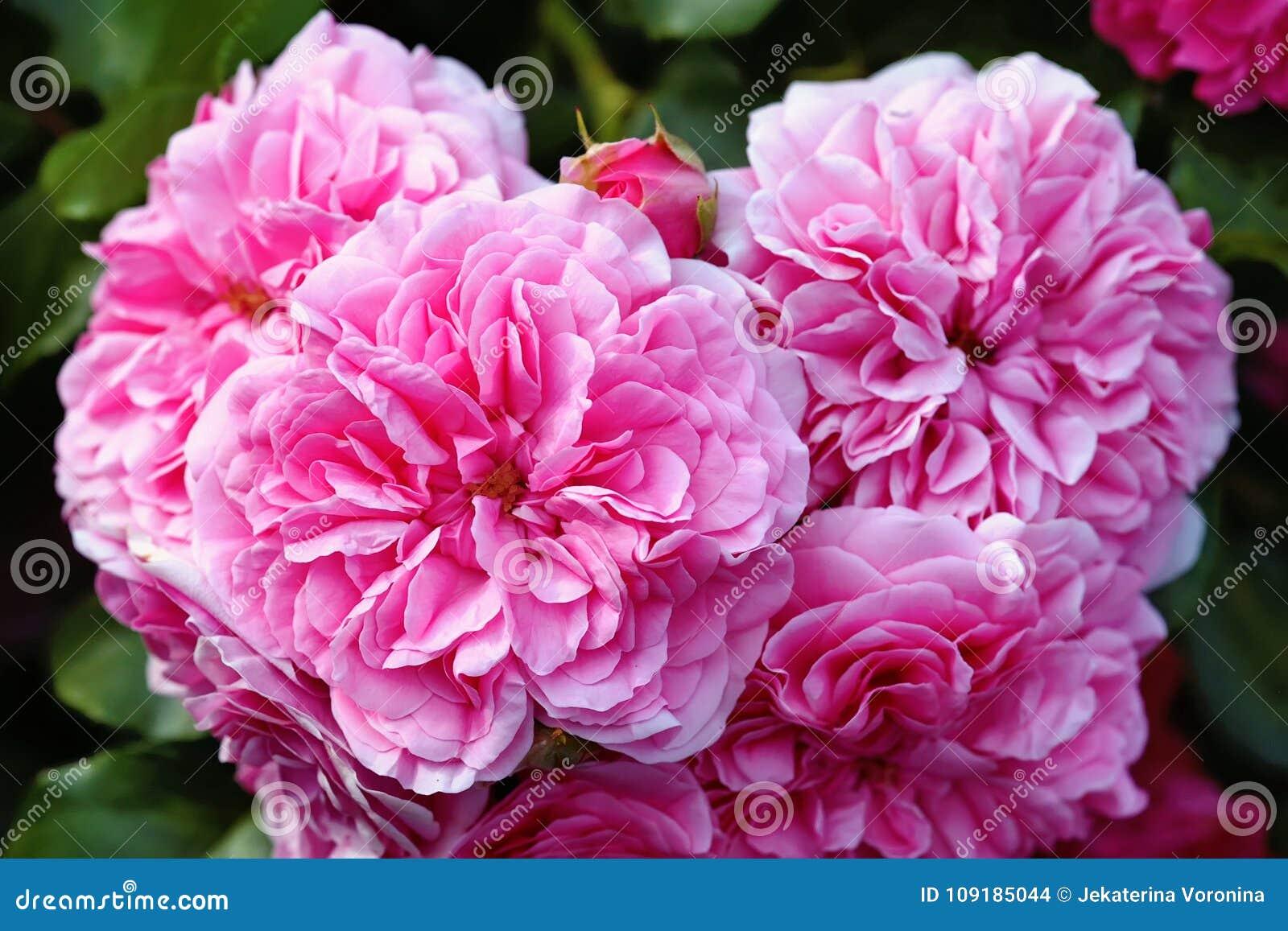 De oliarozen, de Provence namen toe of de kool nam of Rose de Mai-de close-up toe