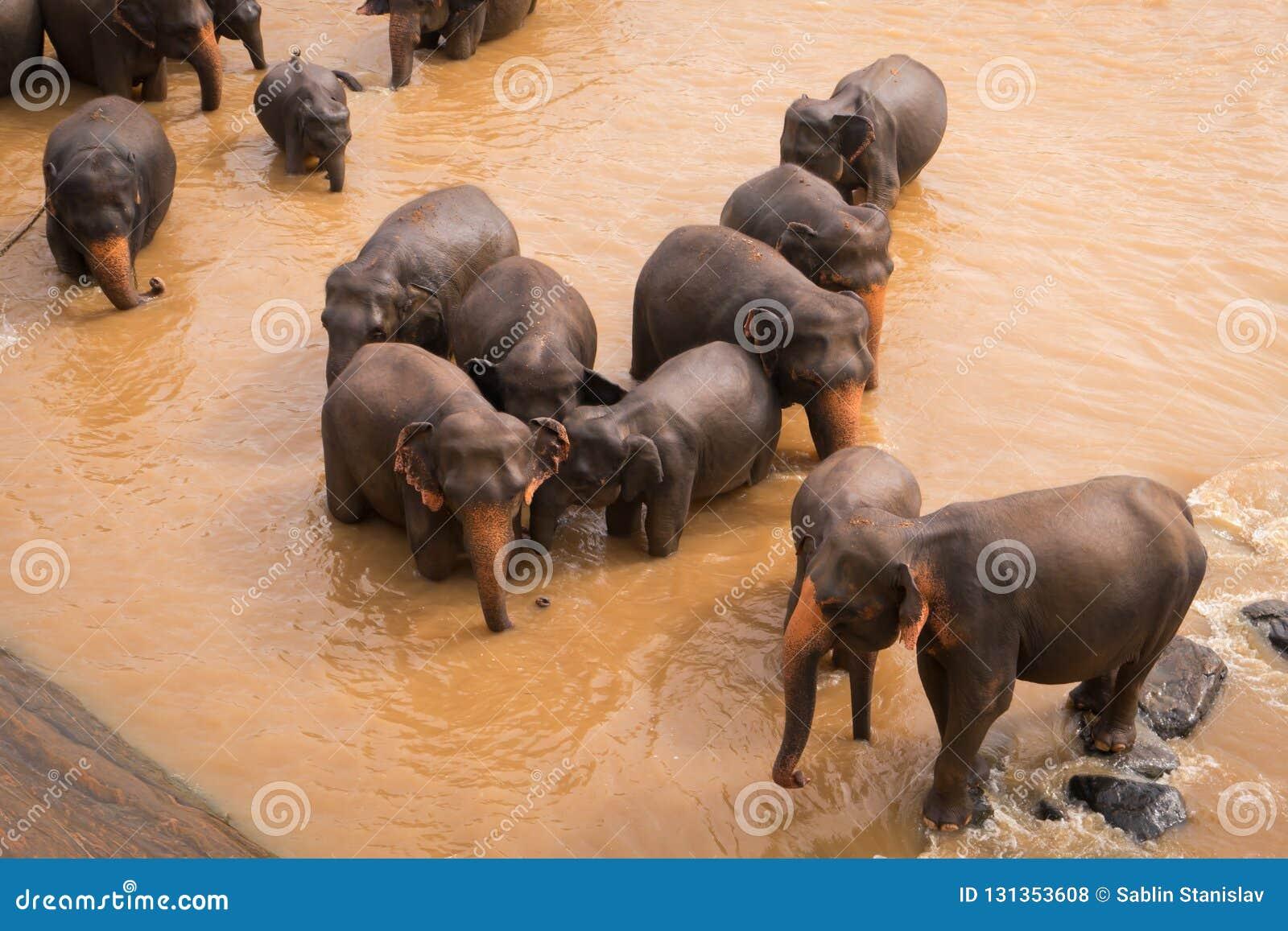 De olifanten baden in de rivier