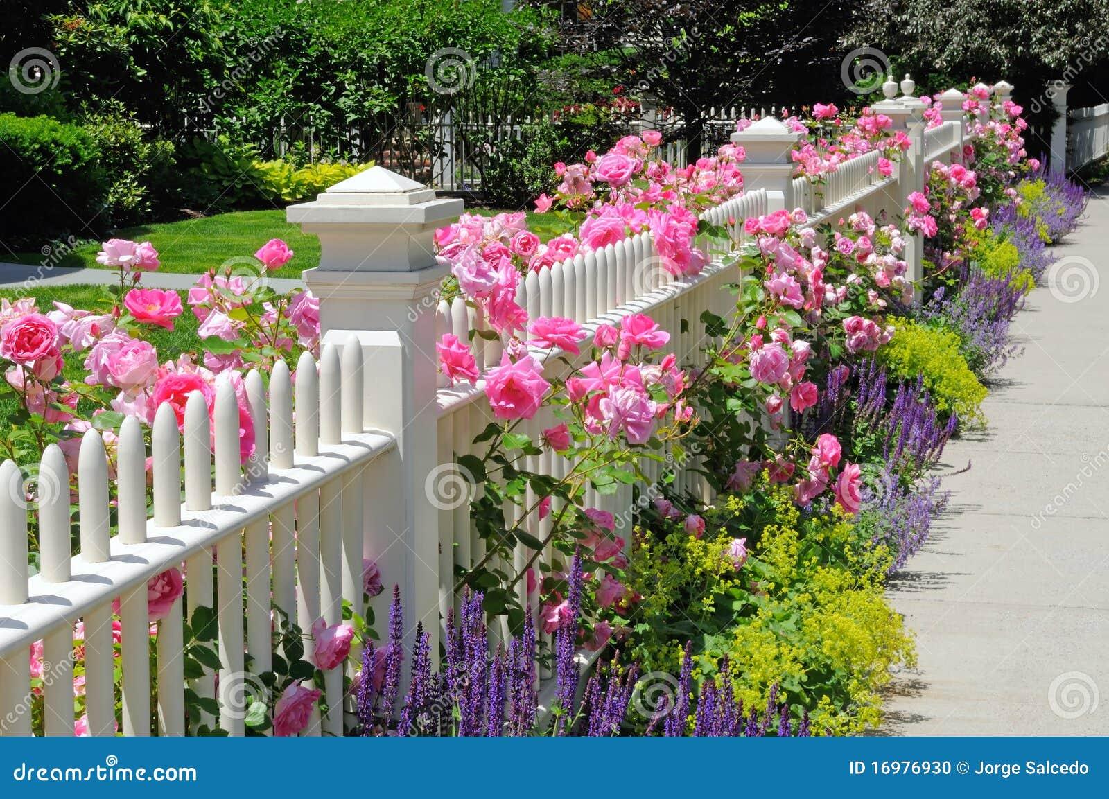 De omheining van de tuin met roze rozen