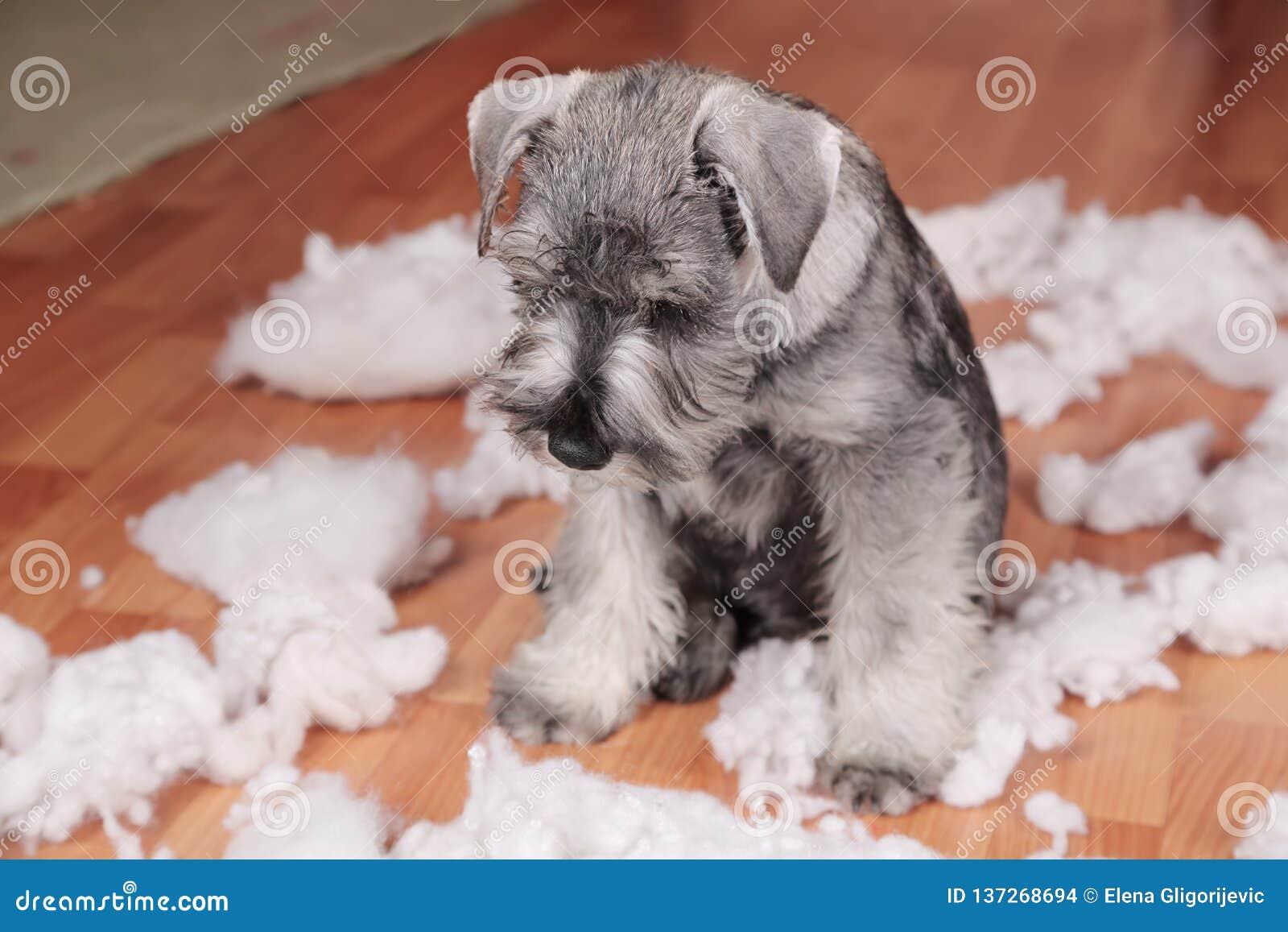 De ongehoorzame slechte leuke hond van het schnauzerpuppy maakte thuis knoeien, vernietigd pluchestuk speelgoed De hond is naar h