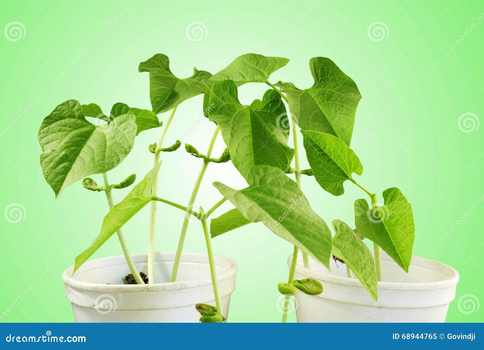 Botanische Planten Afbeeldingen