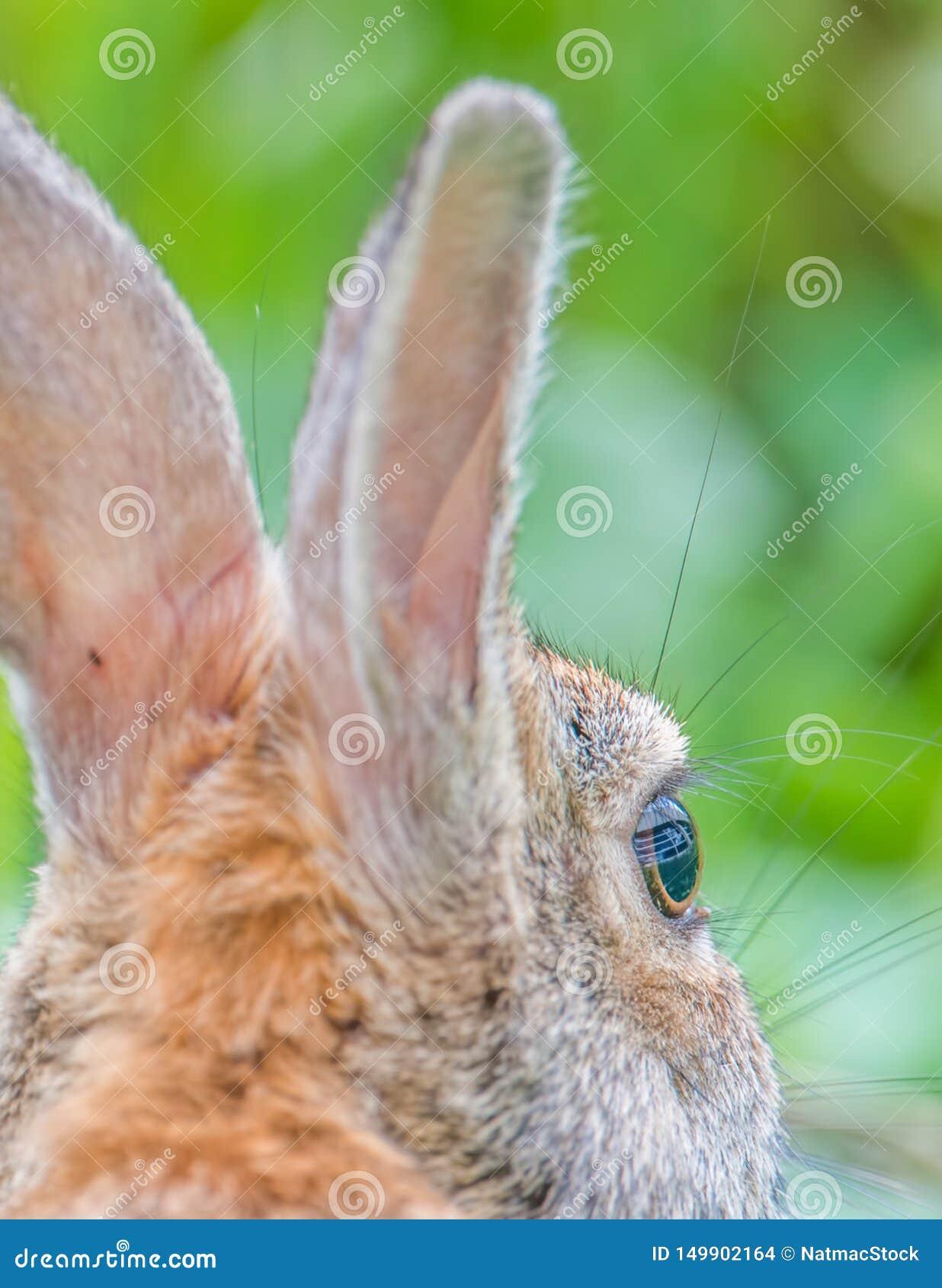 De oostelijke close-up van het katoenstaartkonijnkonijn - dichtbij de Rivier van Minnesota in het Toevluchtsoord van het de Valle