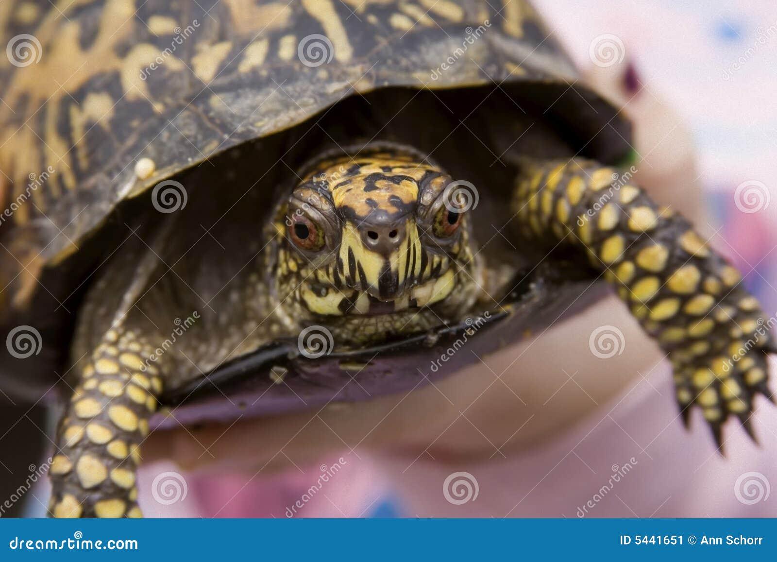 De oostelijke Schildpad van de Doos