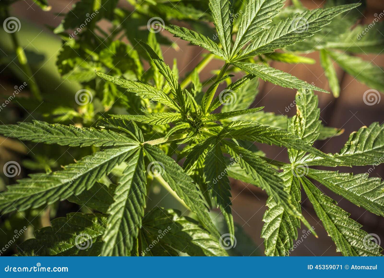 De openluchtpot van de Marihuanainstallatie