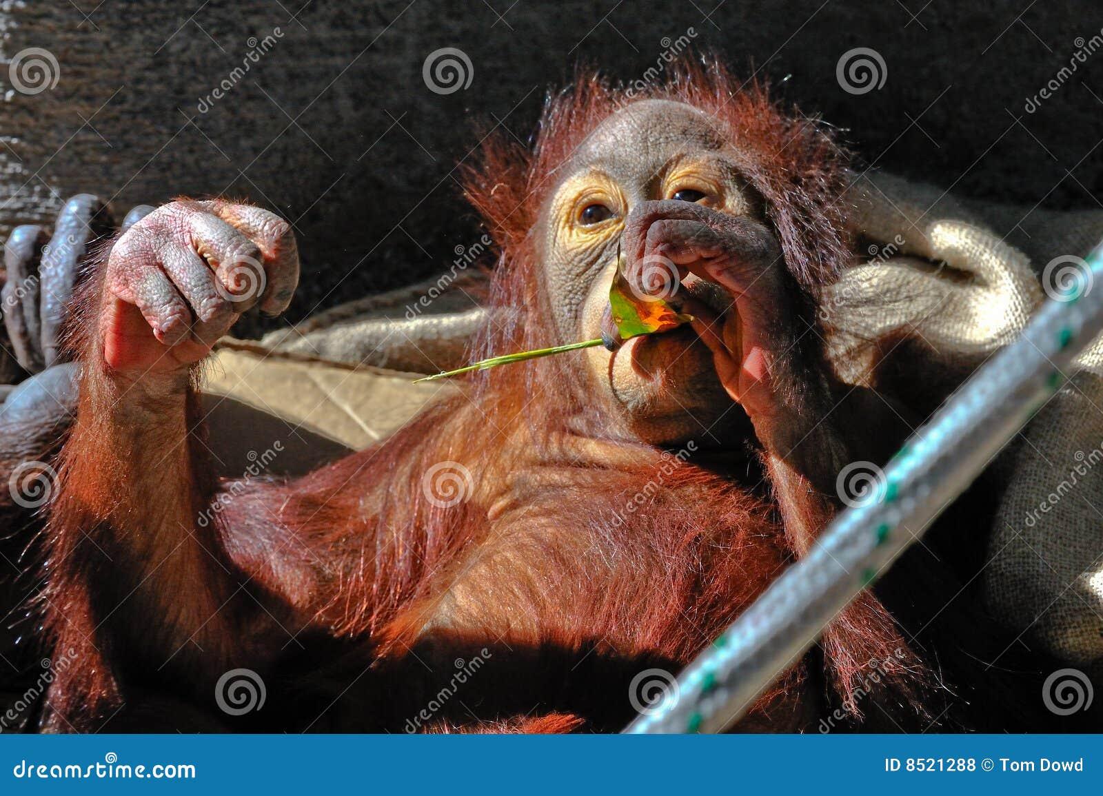 De Orangoetan van de baby