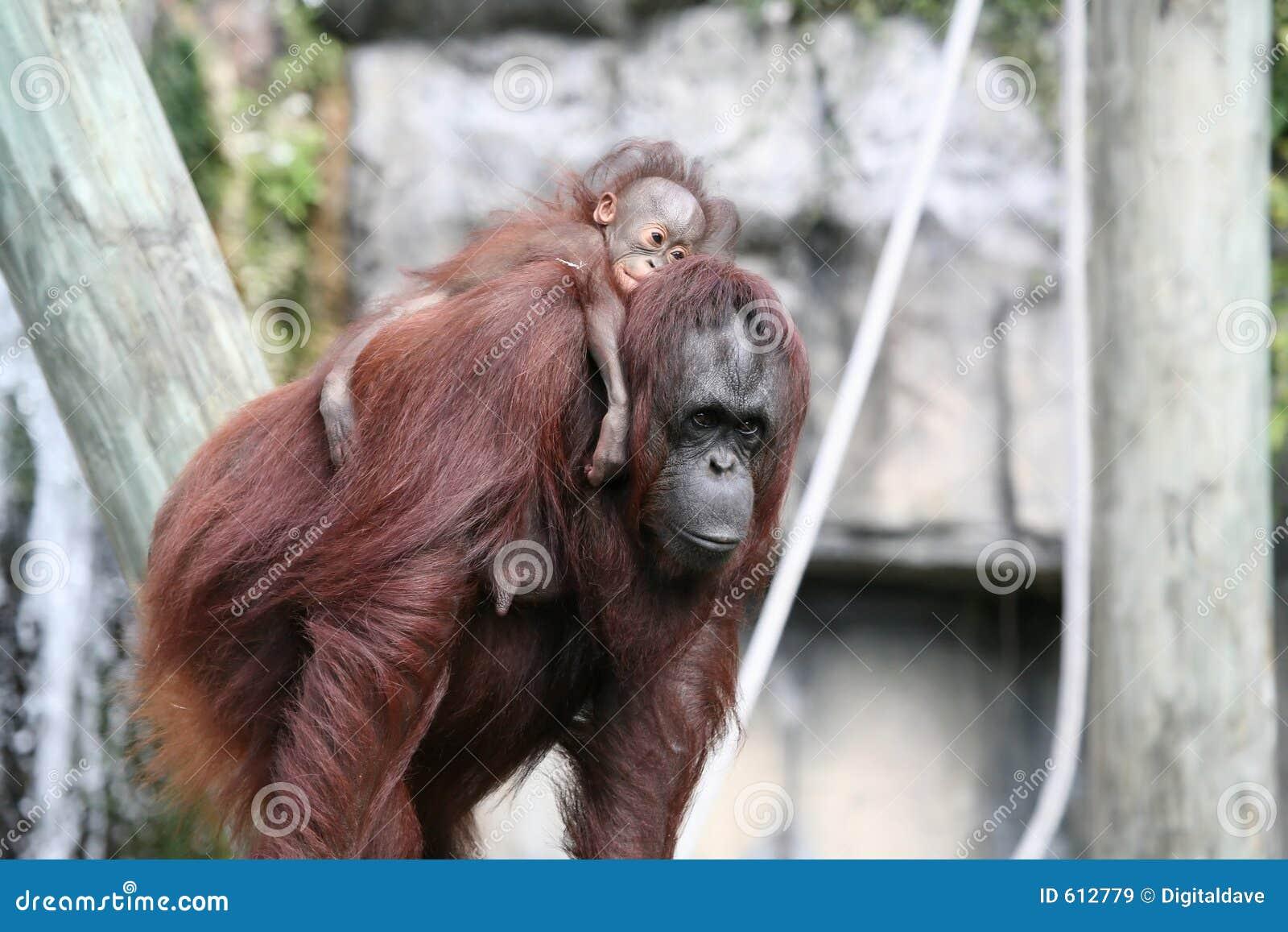 De Orangoetans van Bornean