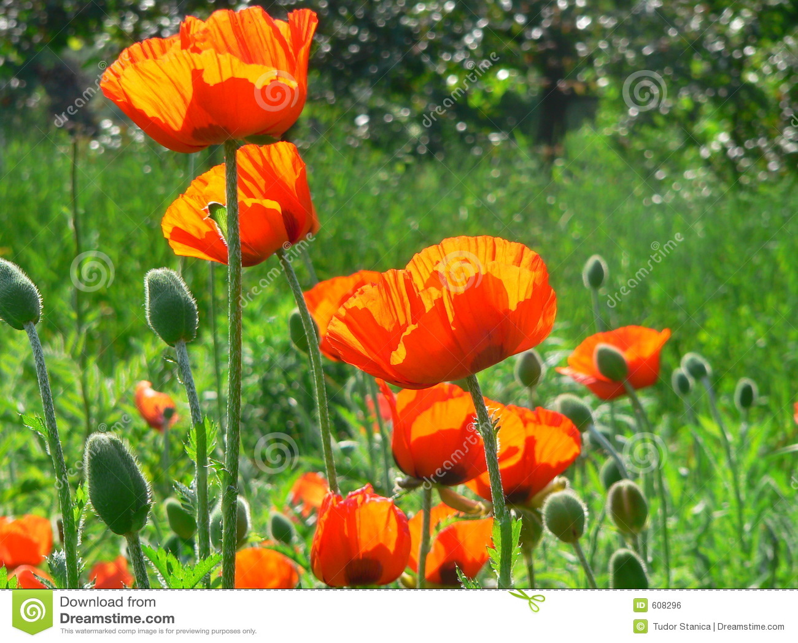 De oranje bloemen van de Papaver
