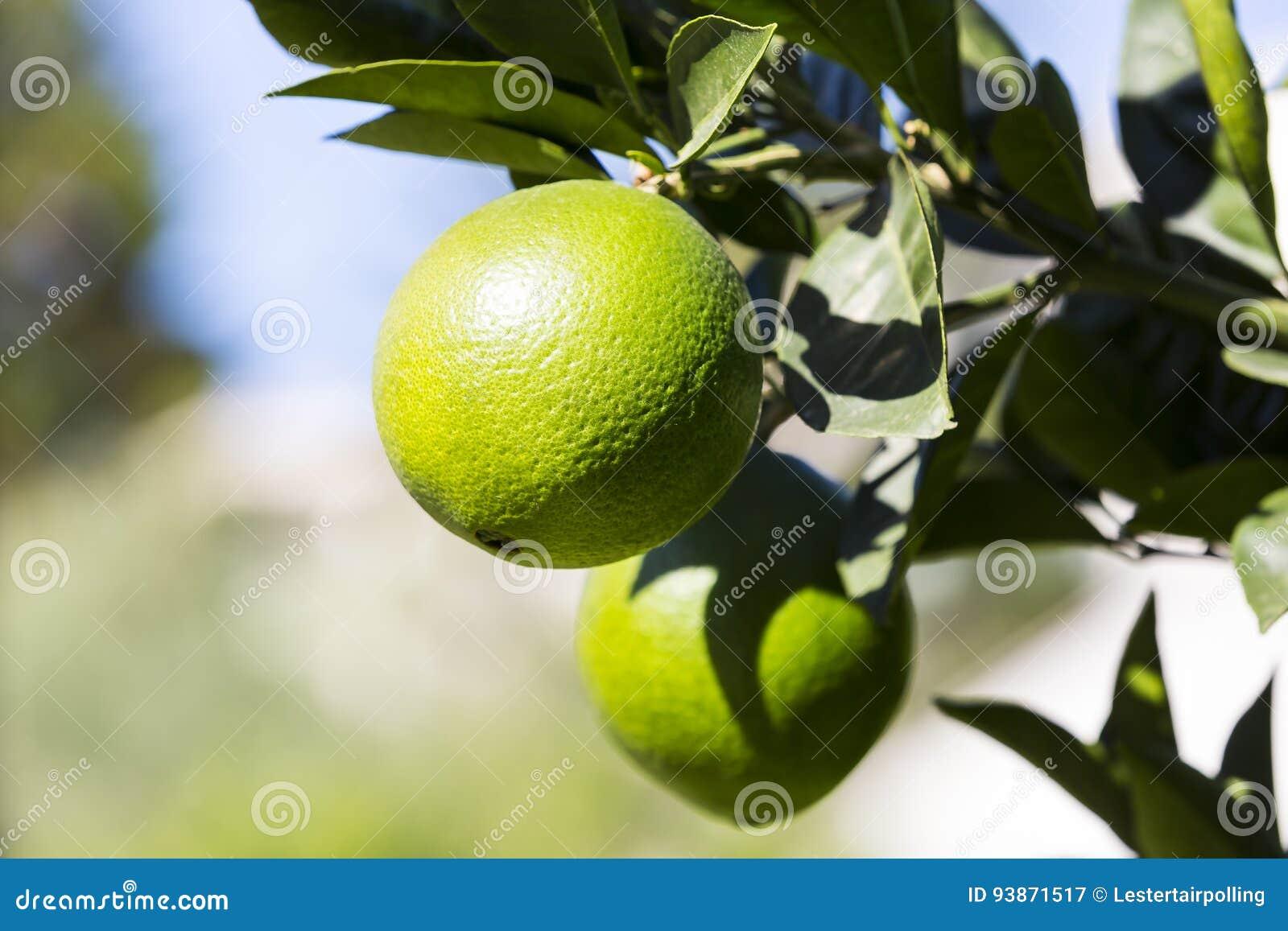 De oranje boom met vruchten rijpt
