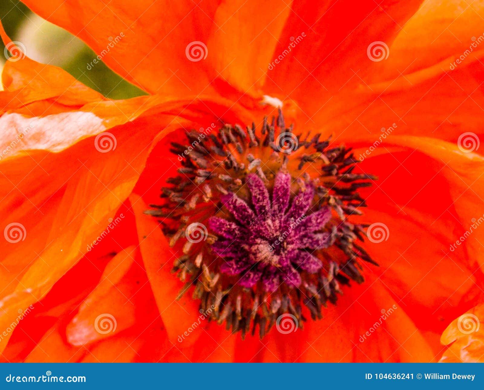 Download De Oranje Papaver Van Californië Stock Afbeelding - Afbeelding bestaande uit tuin, helder: 104636241