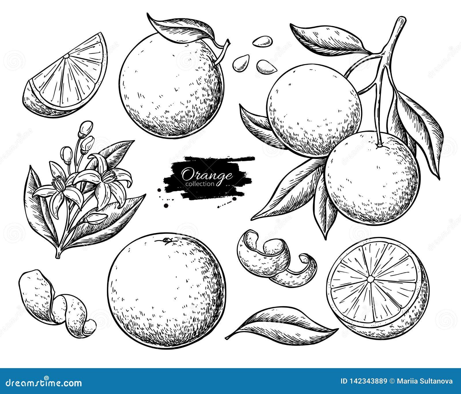 De oranje reeks van de fruit vectortekening De zomervoedsel gegraveerde illustratie