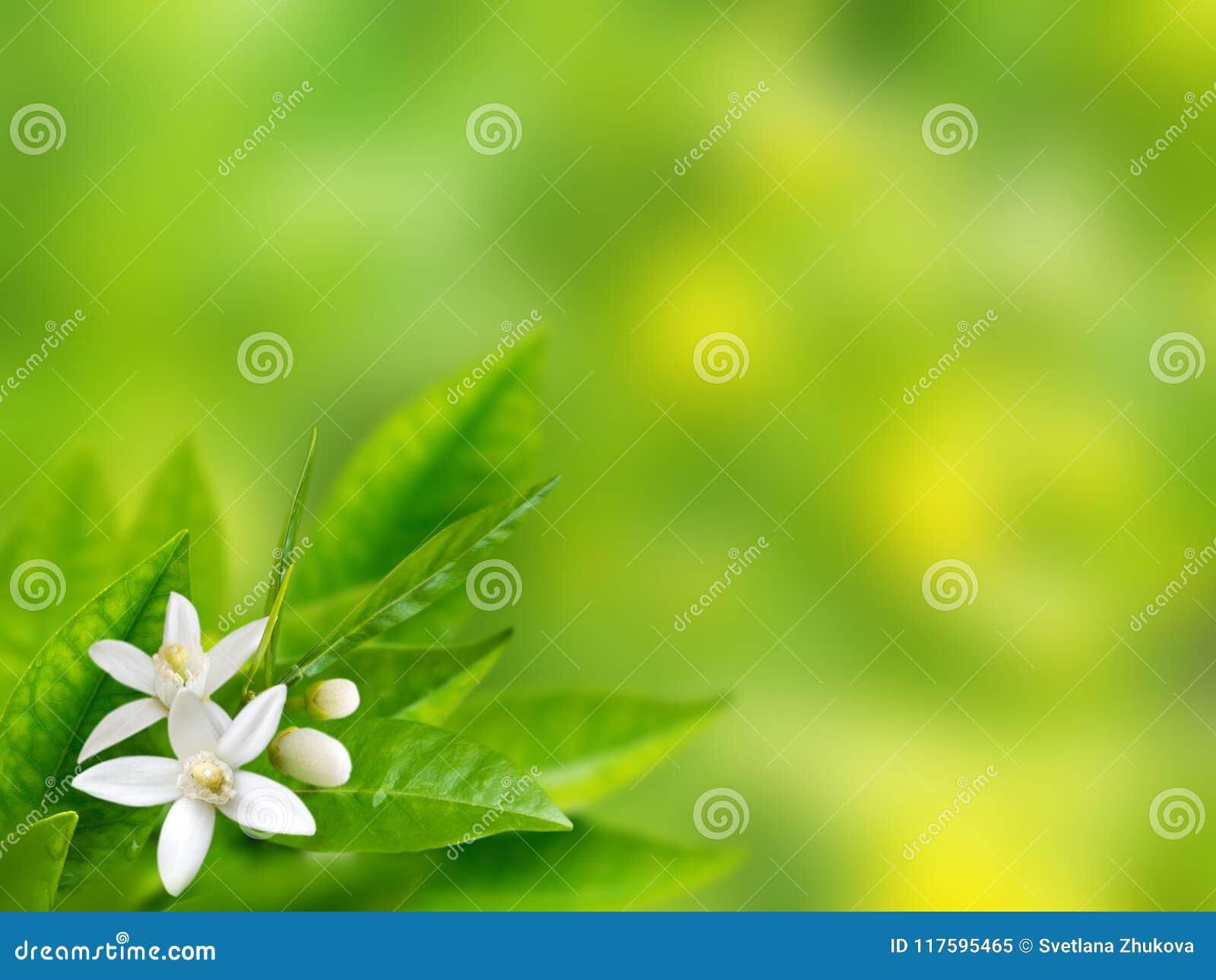 De oranje witte achtergrond van de bloemenlente