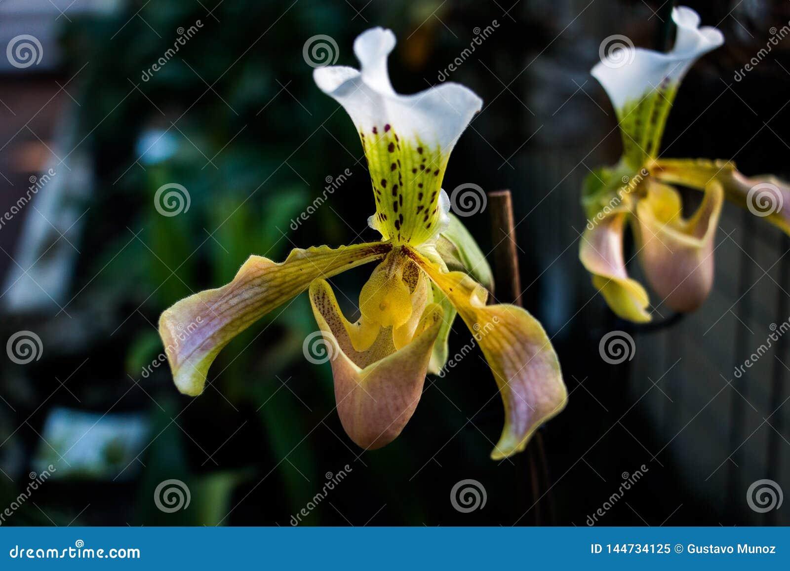 De orchidee van de damepantoffel, Cypripedioideae Paphiopedilum, in voorgrond