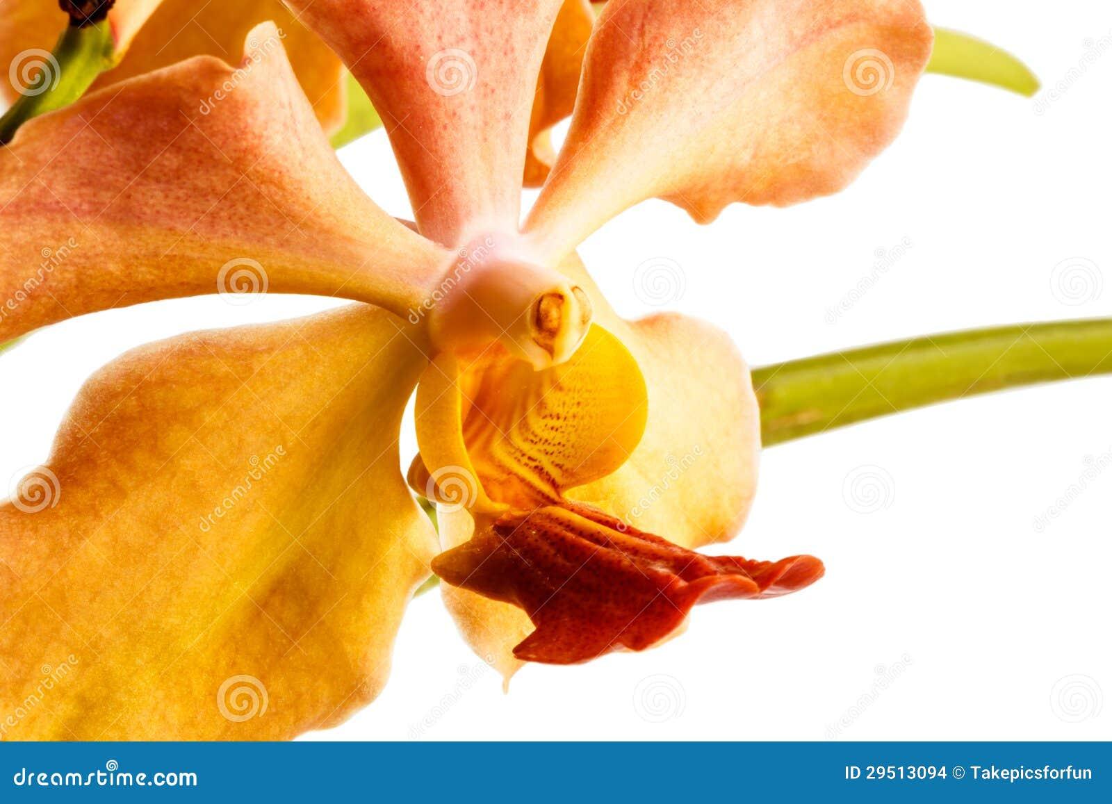 De orchidee van Vanda