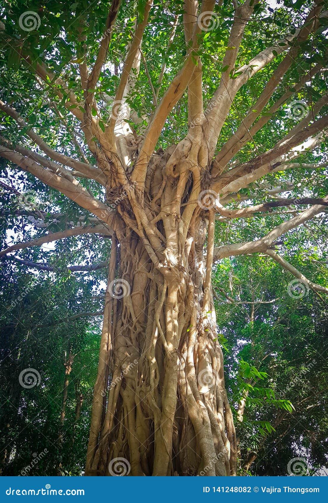 De oude grote boomboomstam