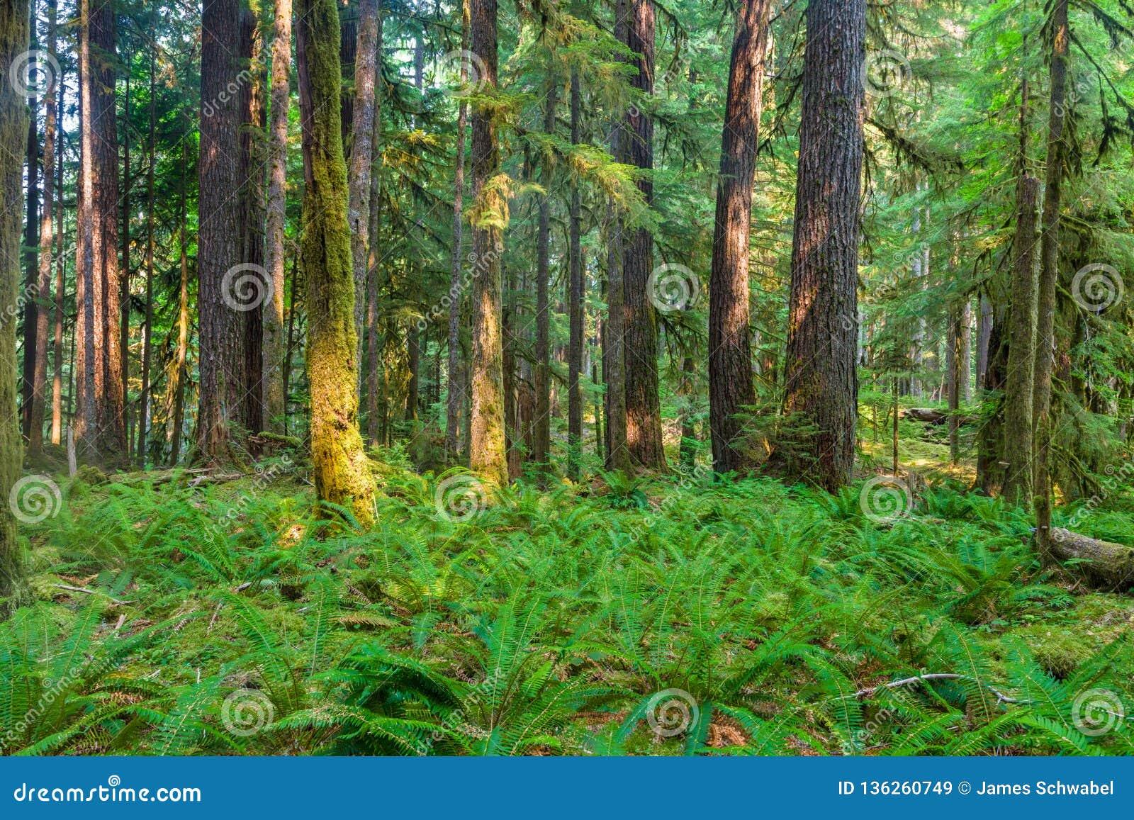 De oude Sleep van de Bosjesaard in Olympisch Nationaal Park, Washington, Verenigde Staten