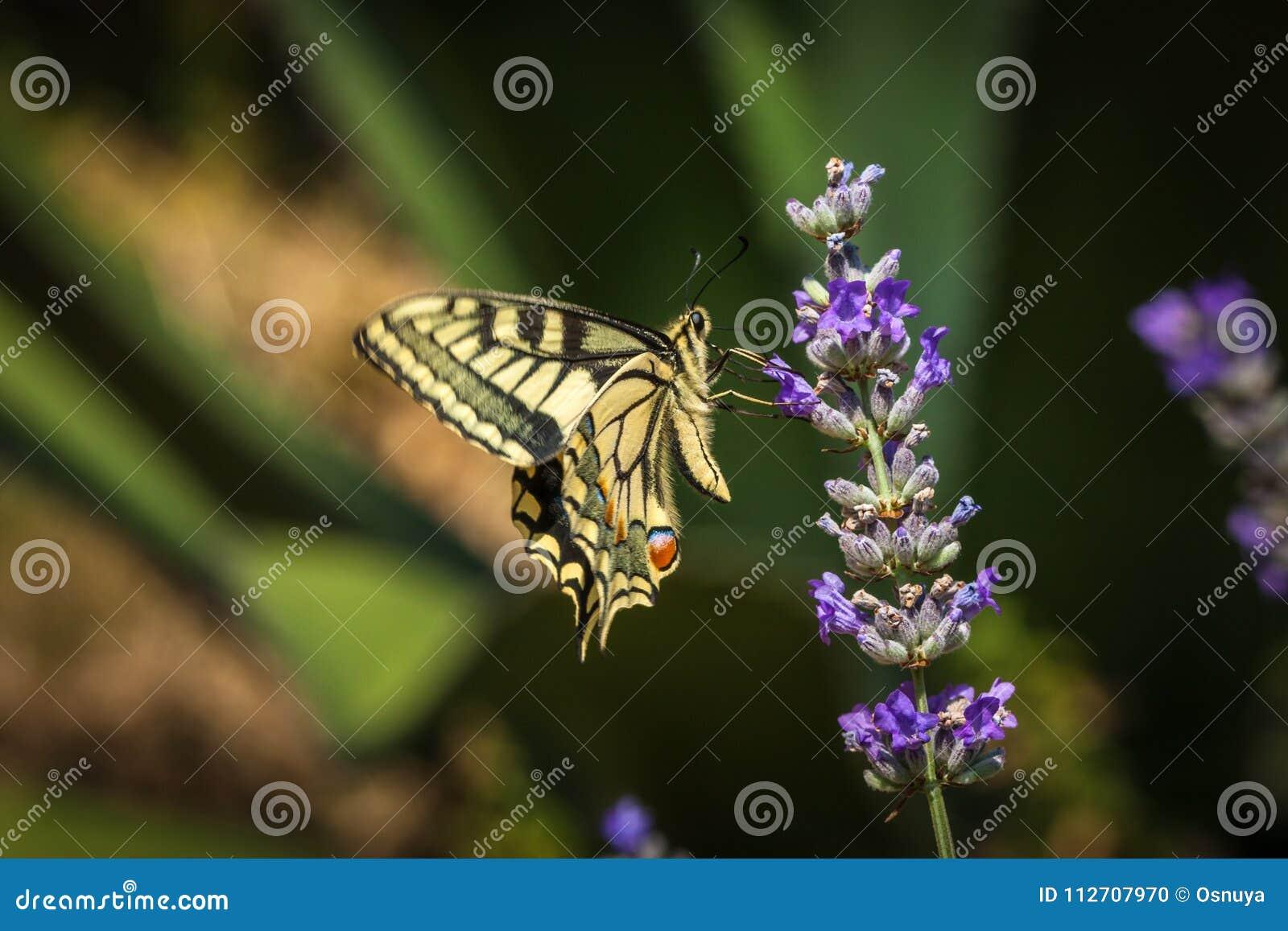 De oude zitting van de Wereld swallowtail vlinder op een lavendelbloem