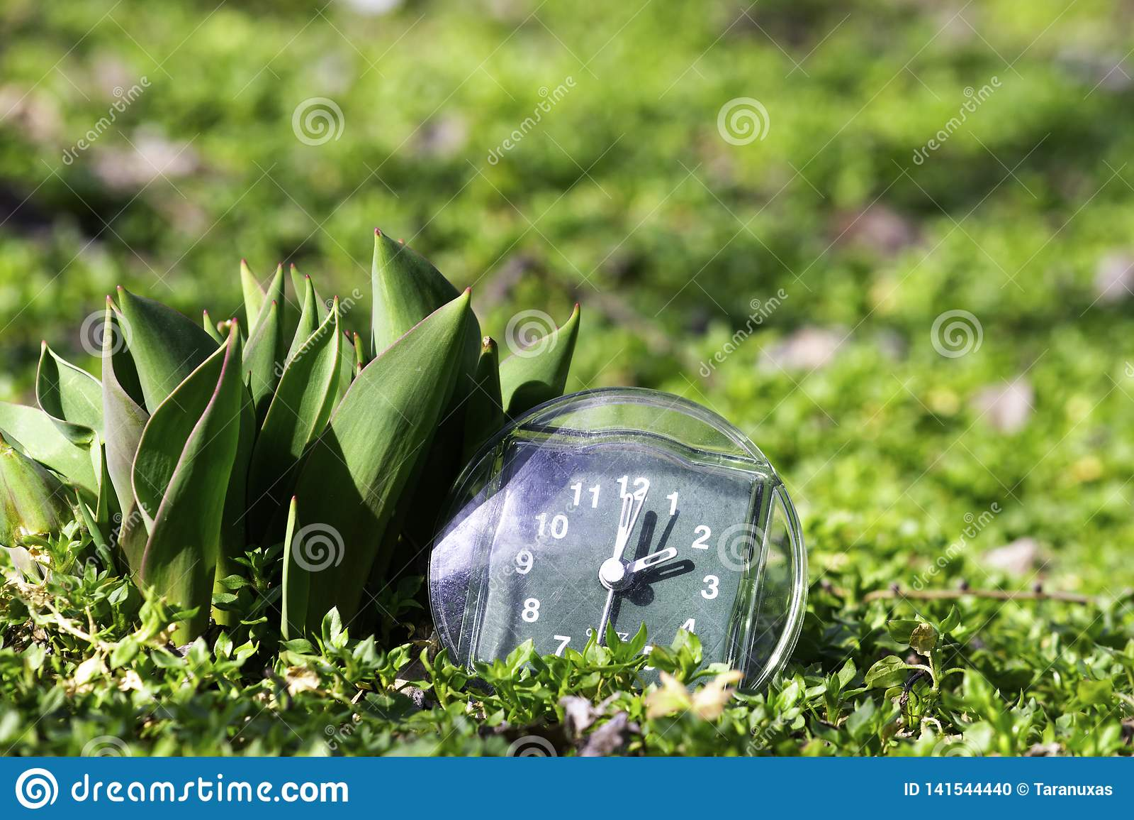 De overgang naar de zomertijd, de aankomst van de lente, de klok op het groene de lentegras naast de jonge onontloken tulpenbloem