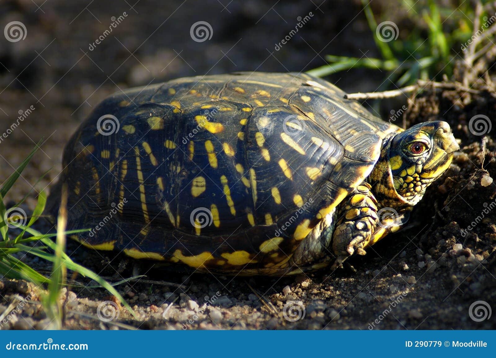 De overladen Schildpad van de Doos