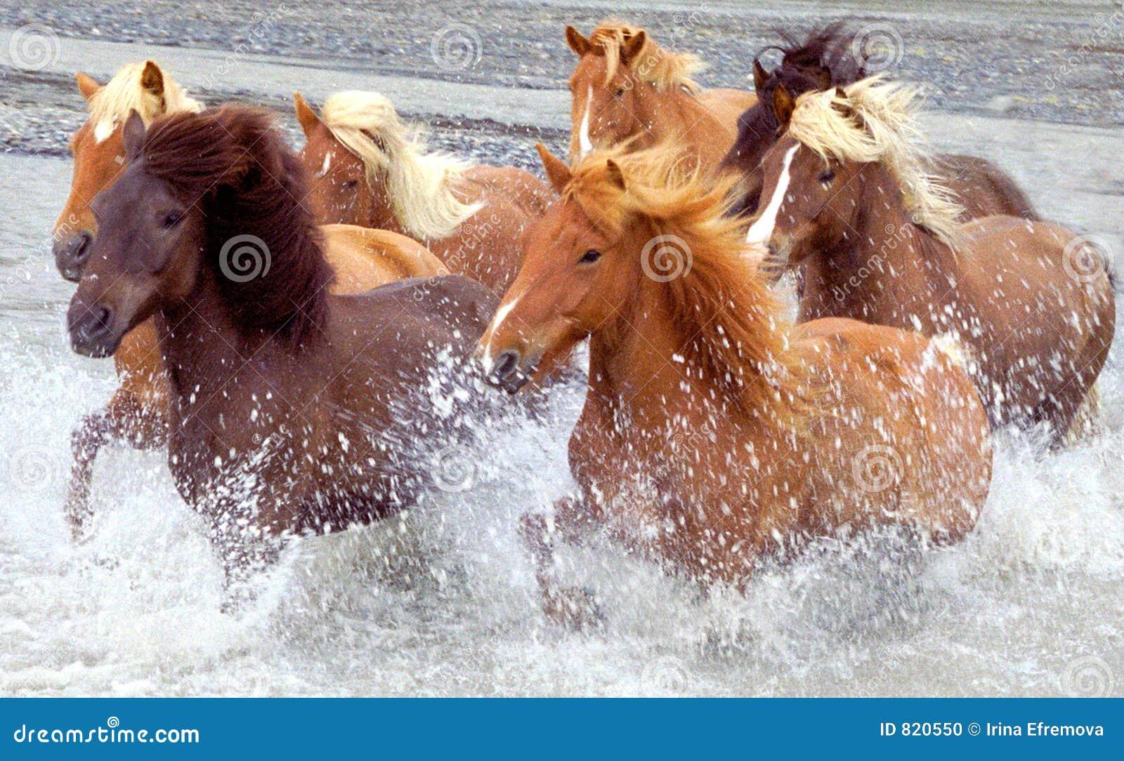 De paarden van IJsland