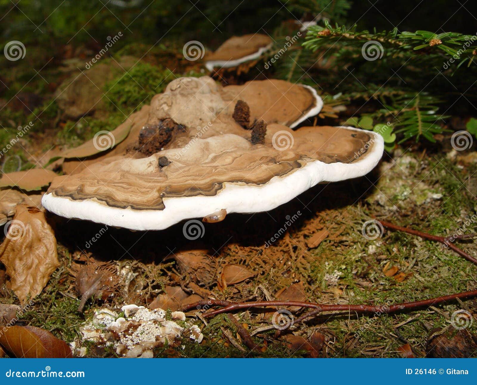 De paddestoel van de boom