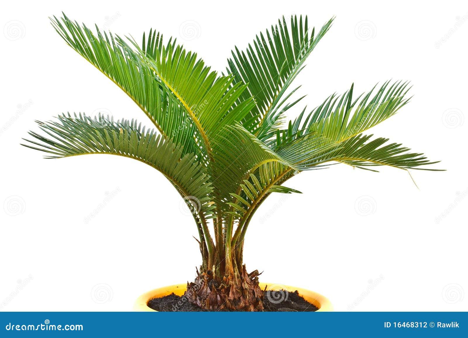 De palm van de sago