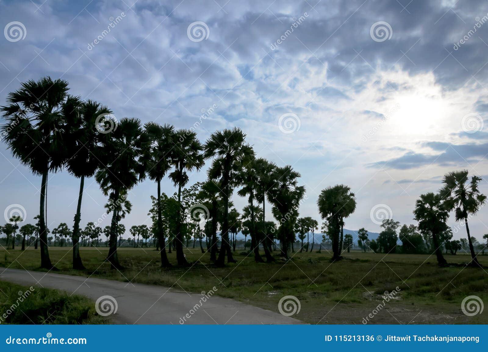 De Palm van de suiker