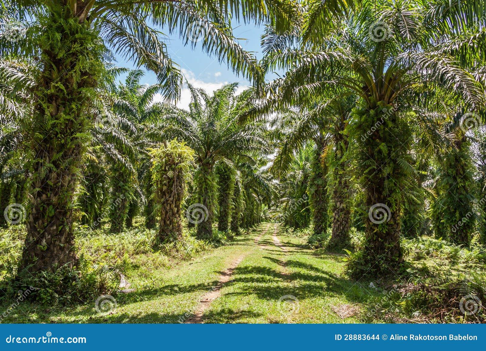 De palmaanplanting van de olie
