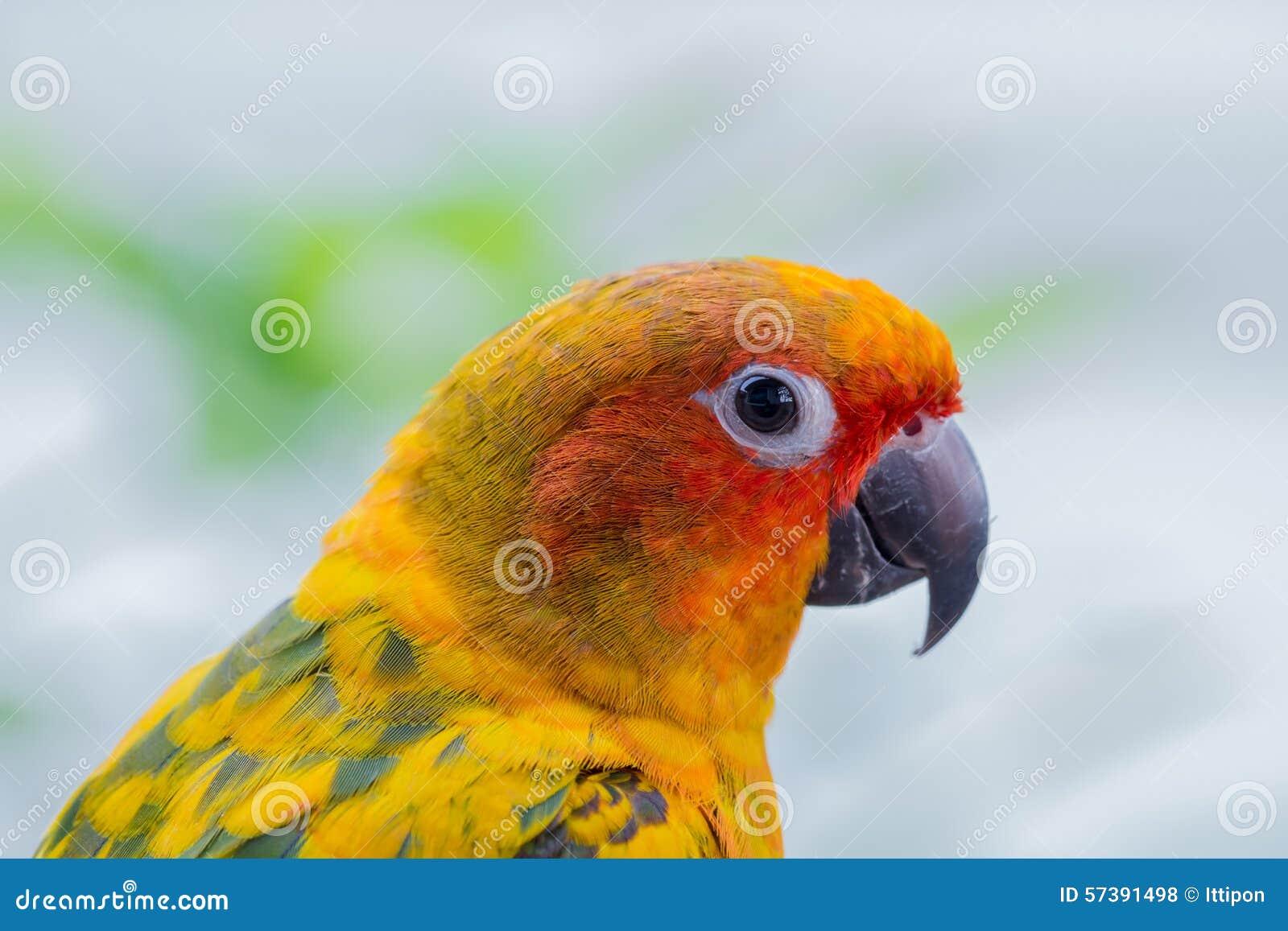 De Papegaai van Conure van de zon
