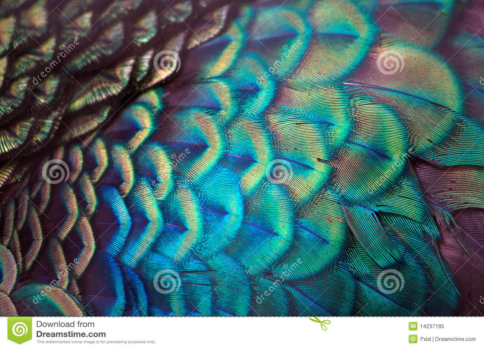 De pauw bevedert detail