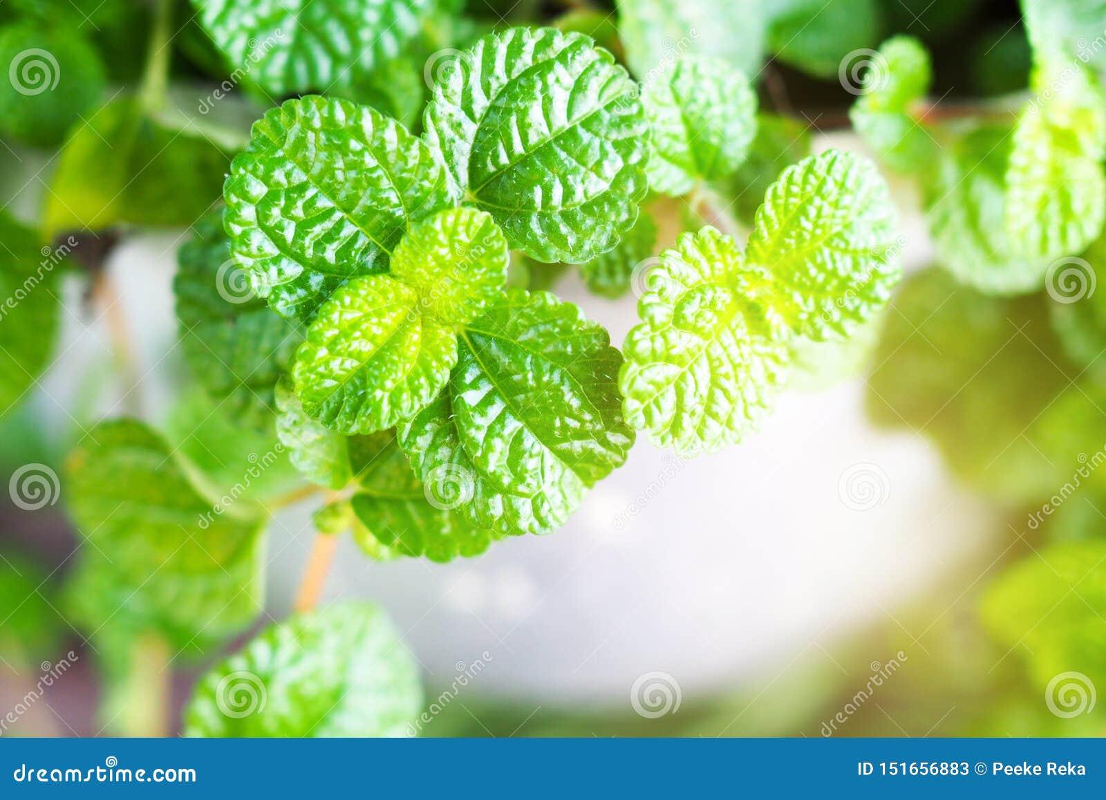 Is de pepermunt groene installatie een geneeskrachtig kruid en gebruikt om voedsel te koken Of drank