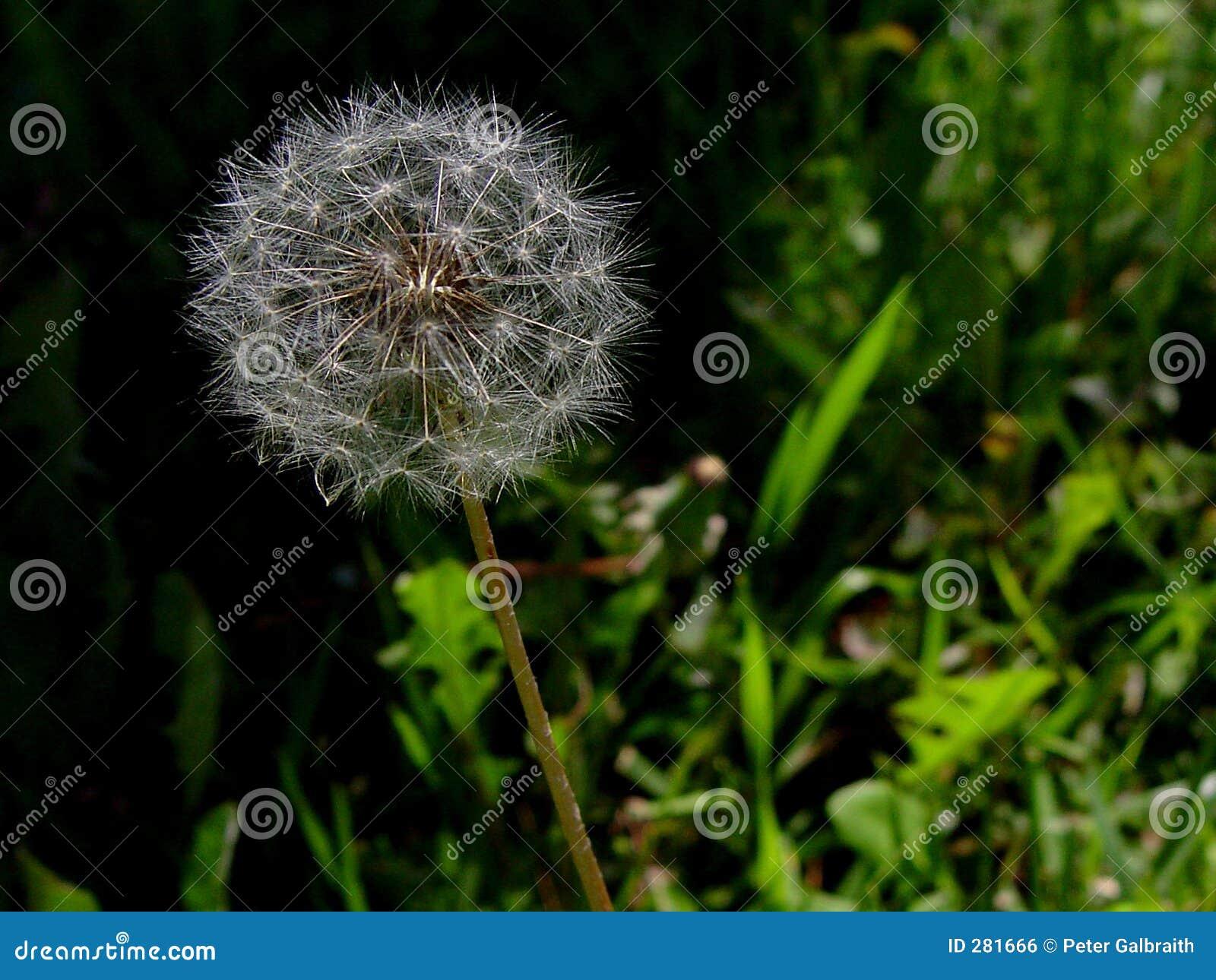 De peul van het zaad in gras