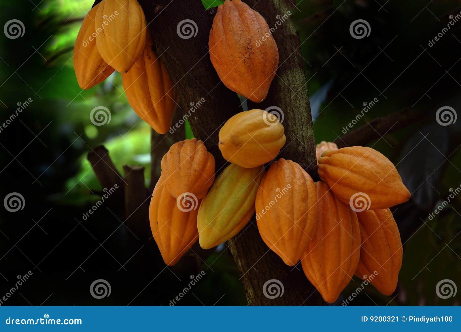 De Peulen van de cacao