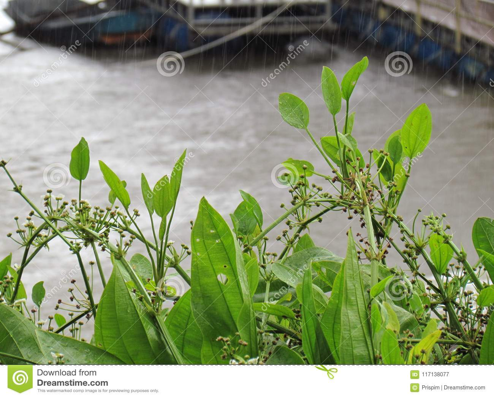 De Pijl Hoofdameson of de het Zwaardinstallatie van Amazonië op de banken van de rivier en haven op een regenachtige dag