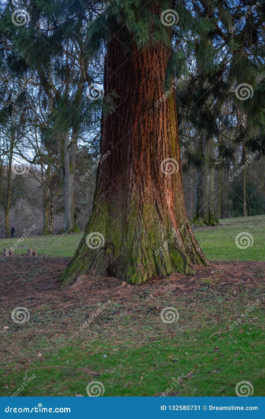 De pijnboom die het verschillende omvang dan geeft het heeft