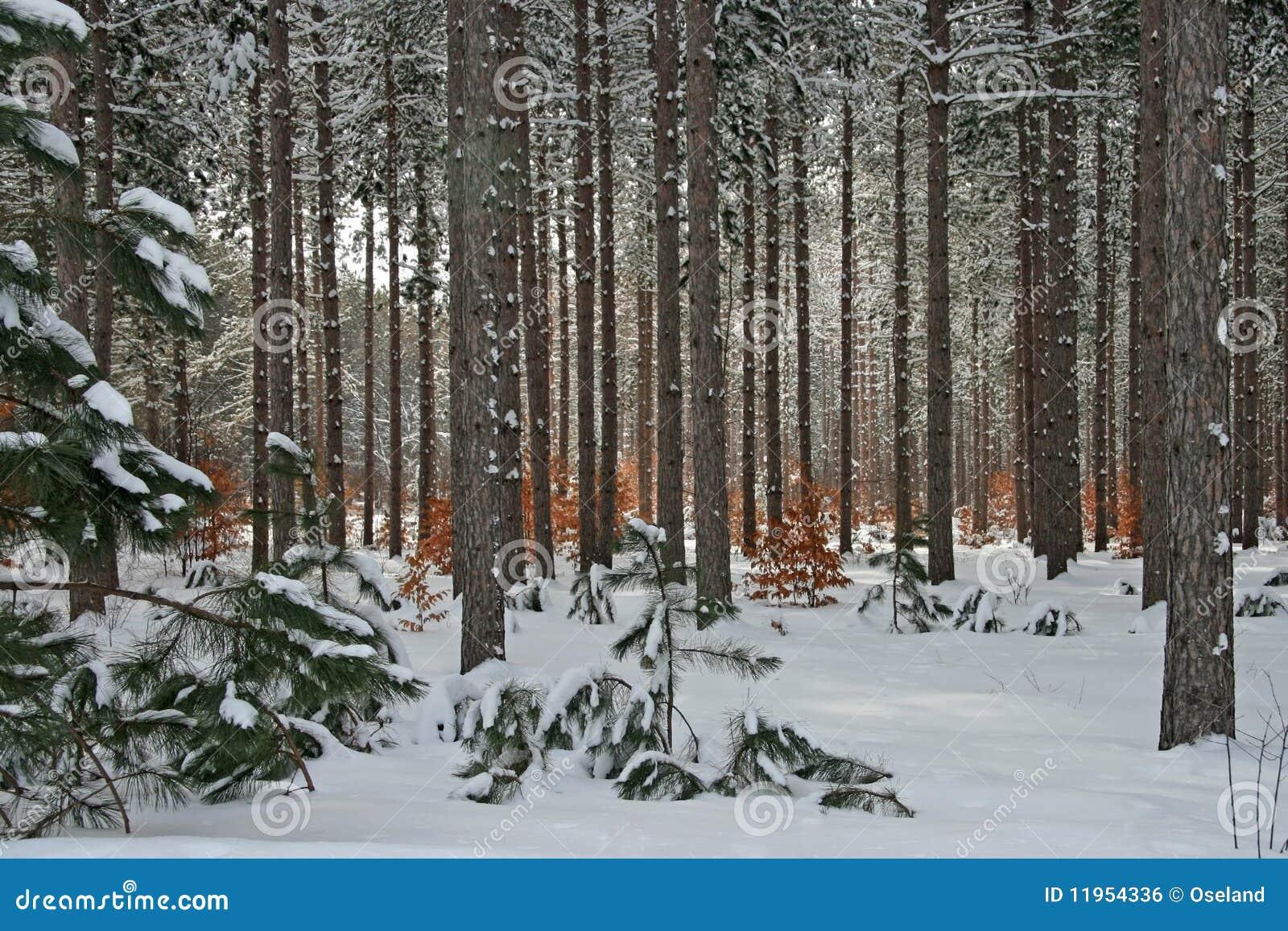 De Pijnboom van de winter en het Bos van de Boom van de Beuk