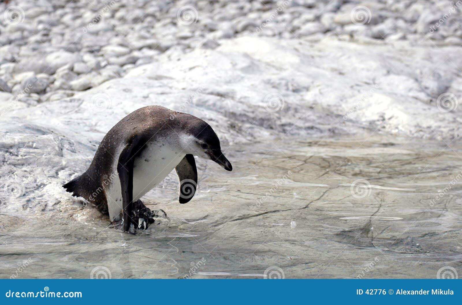 De pinguïn die voor gaat zwemt