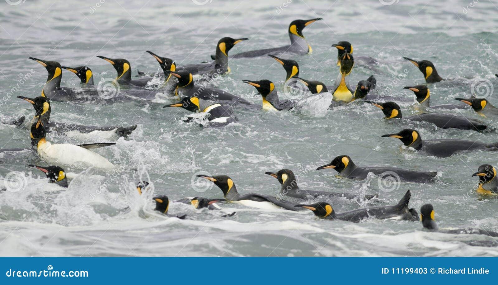 De Pinguïnen die van de koning in de Golven zwemmen