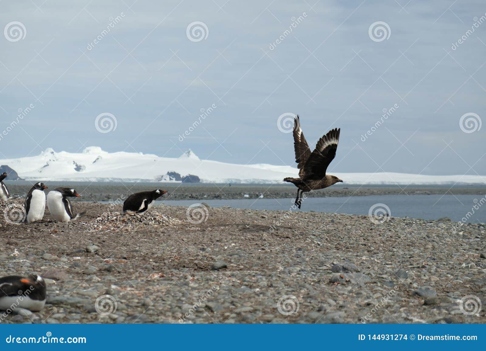De pinguïnen van Antarctica Gentoo achtervolgen weg een jager van hun nest