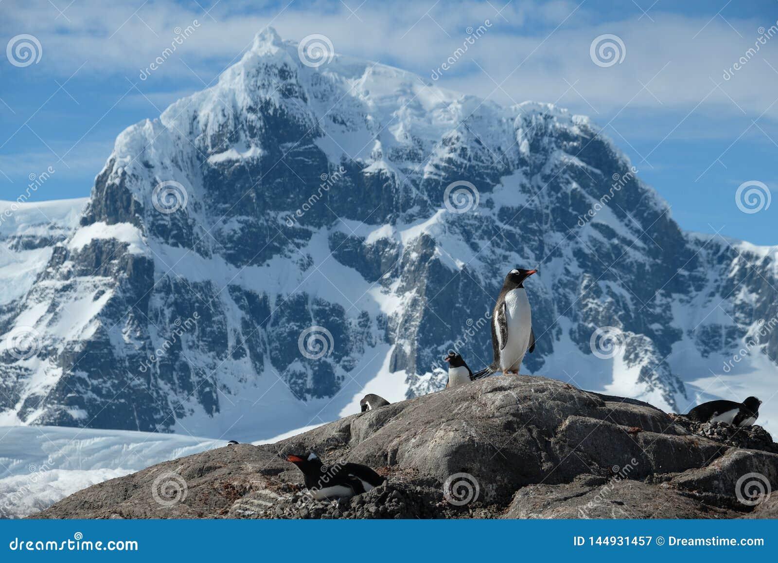 De pinguïnen van Antarctica Gentoo bevinden zich scherpe sneeuwbergen