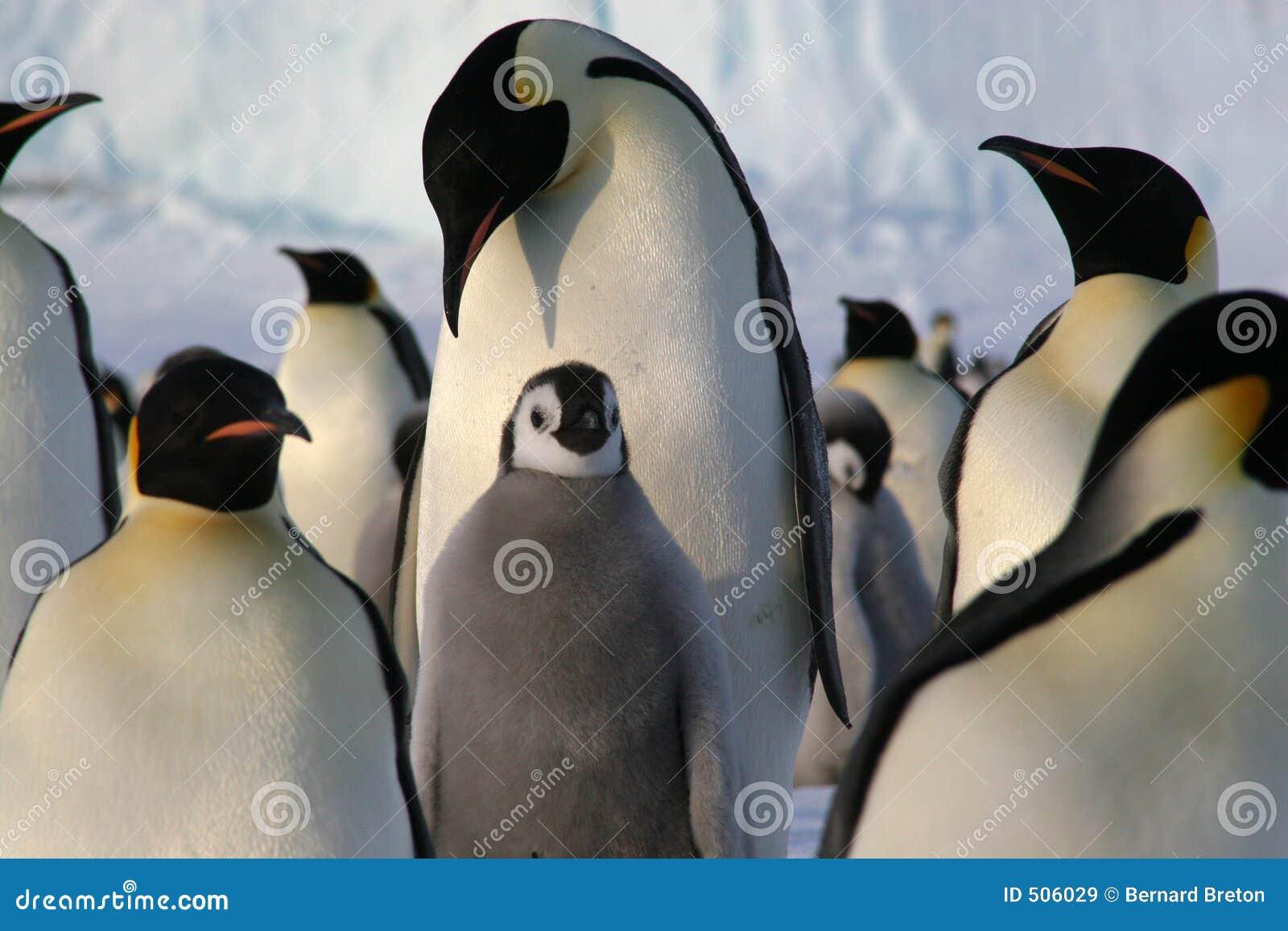 De pinguïnen van de keizer met kuiken