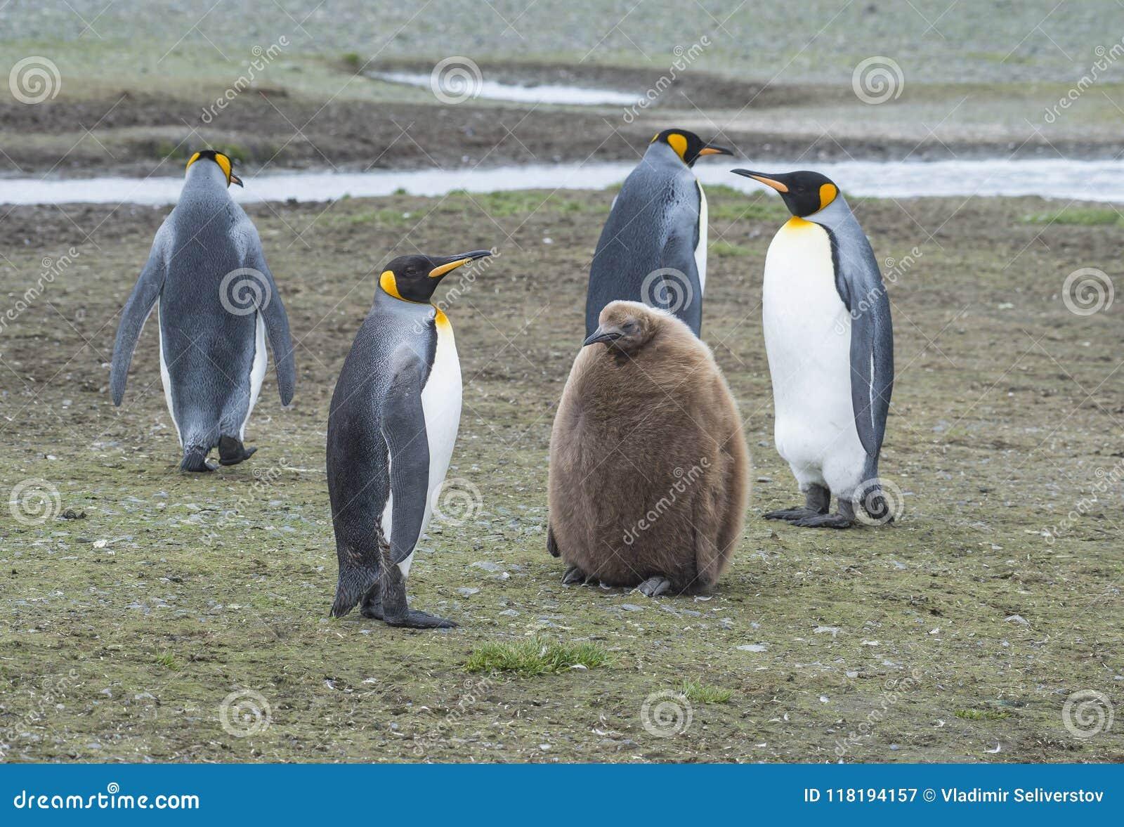 De pinguïnen van de koning met kuiken