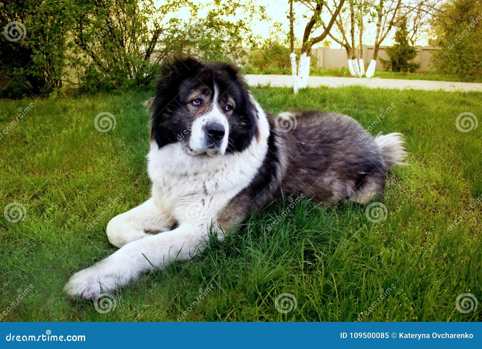 De pluizige Kaukasische herdershond ligt op de grond Volwassen Cau