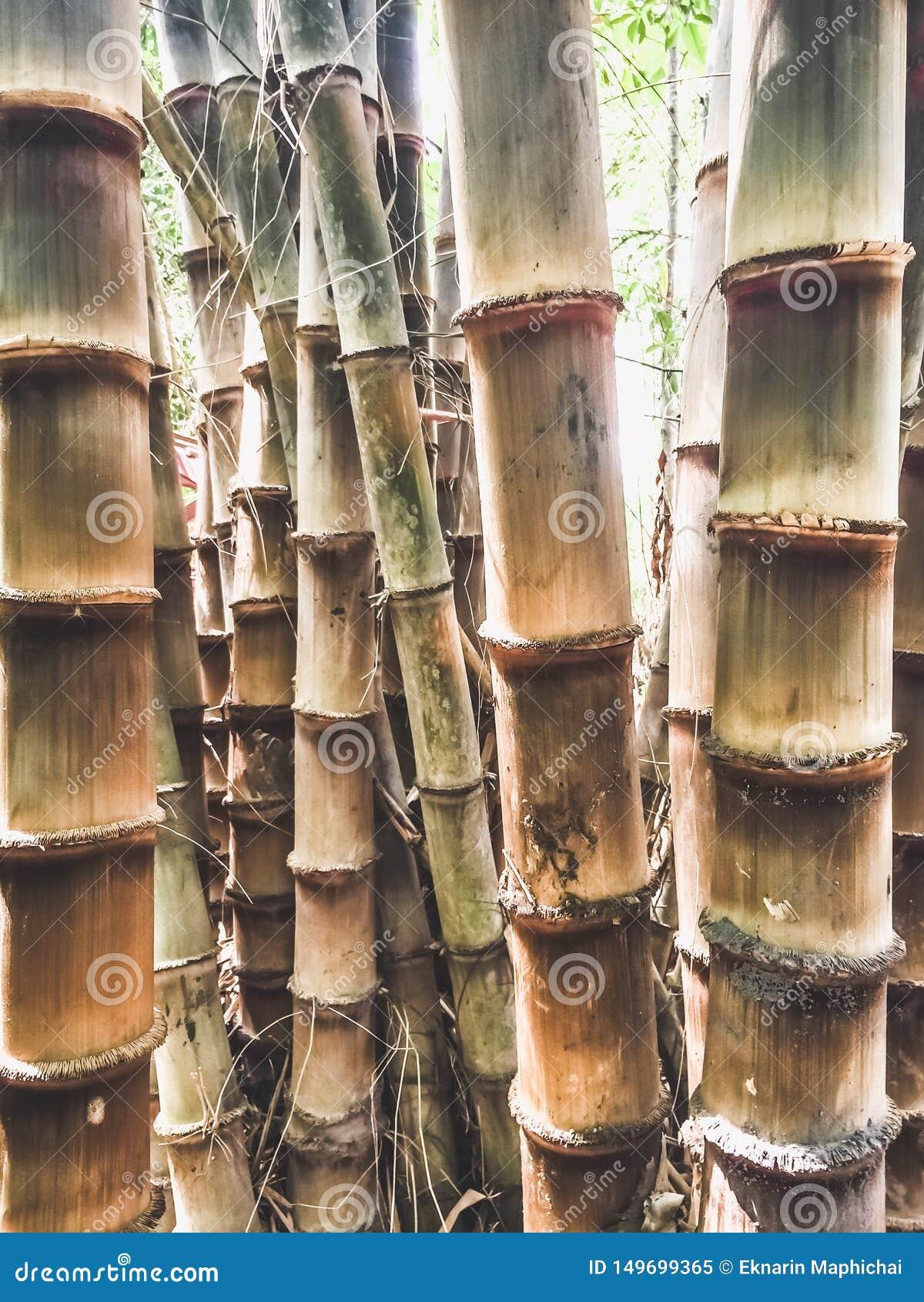 De plus grands bambous