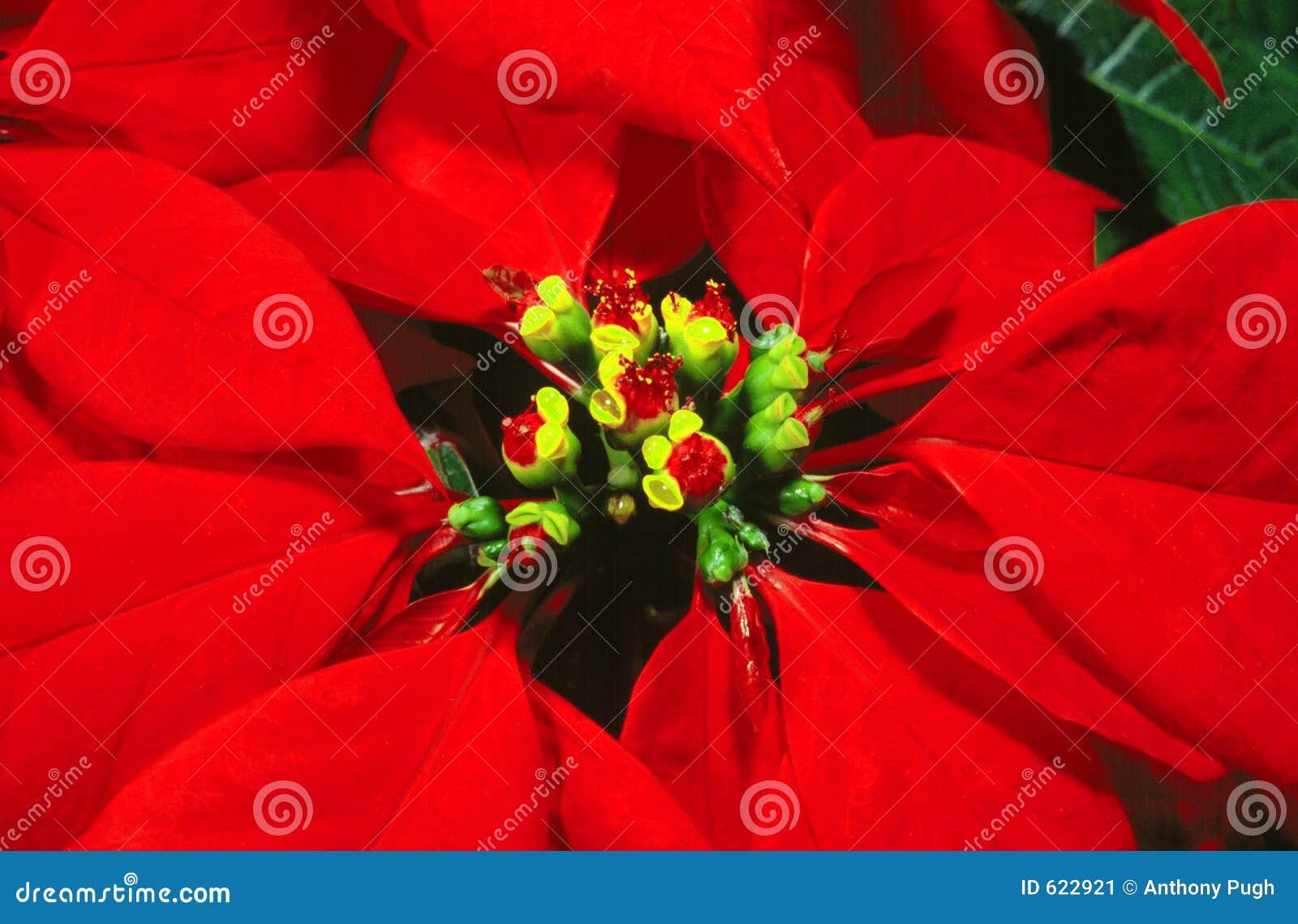 De poinsettia van de bloem