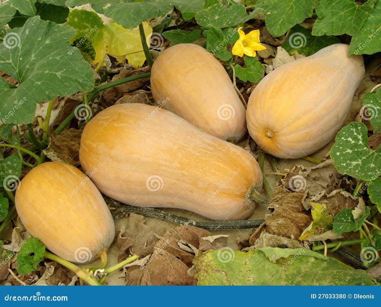De pompoenen van Butternut