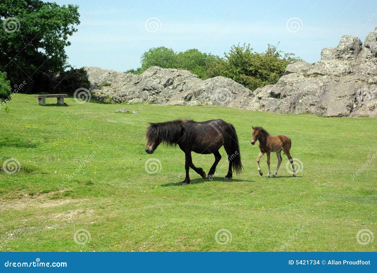 De poney van Dartmoor met veulen