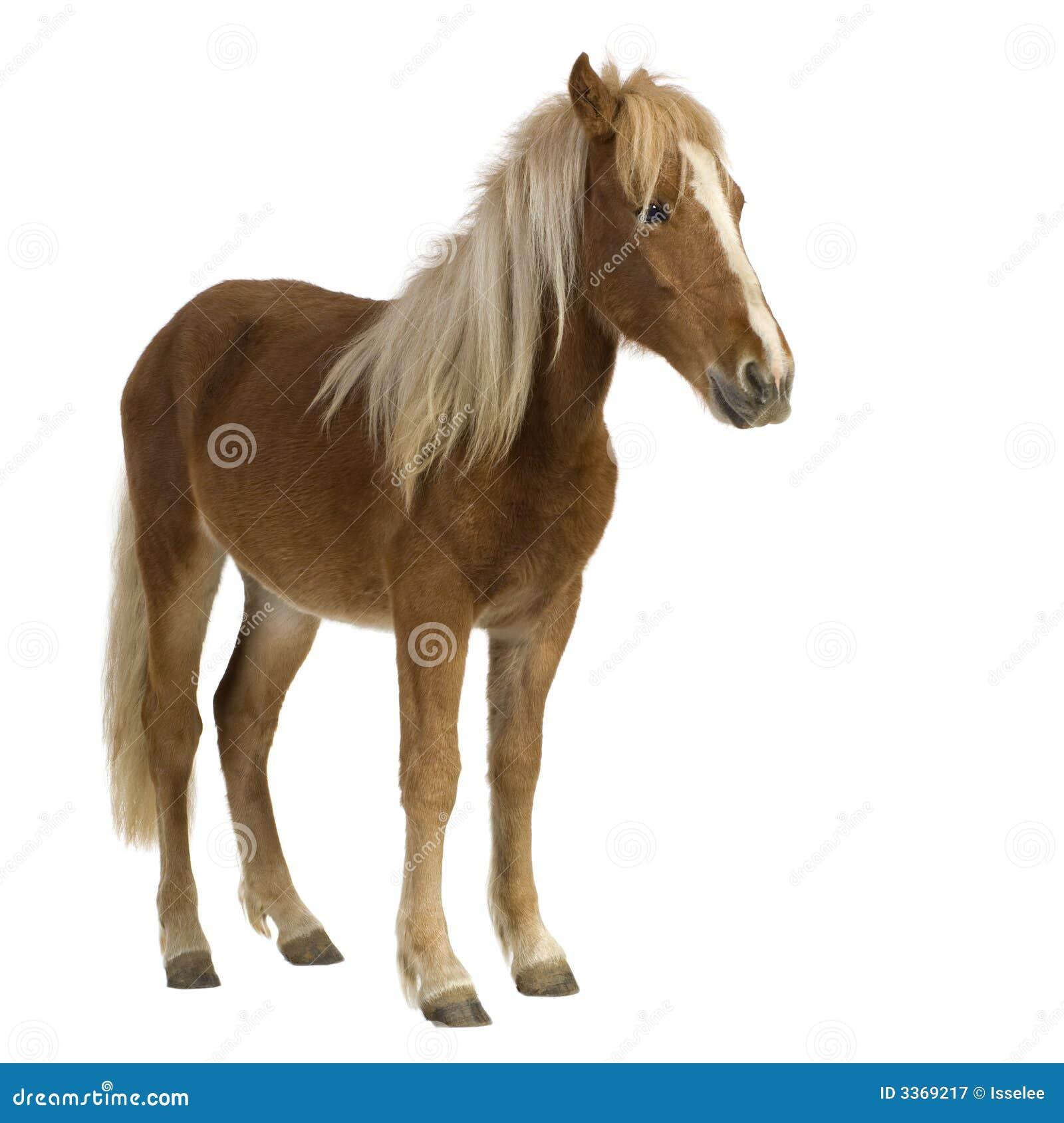 De poney van Shetland (2 jaar)